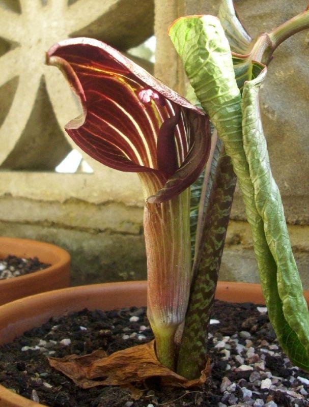 arisaema speciosum (2)