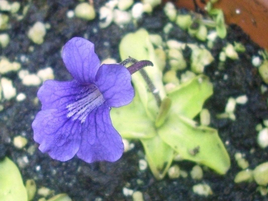 grandiflora edale 3