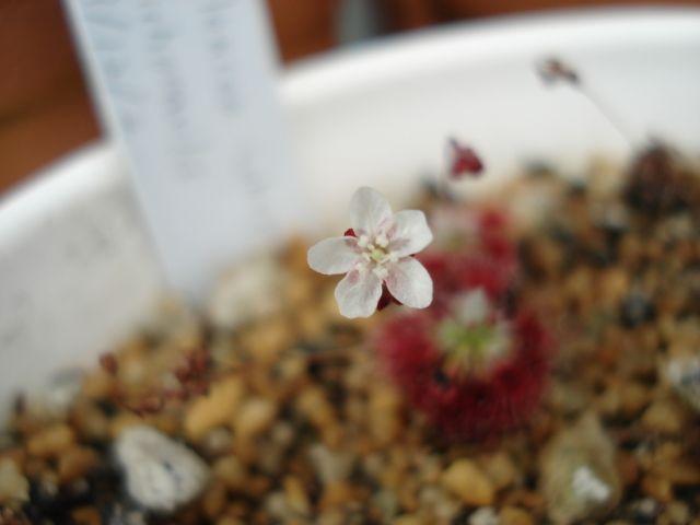 A flower of Drosera paleacea subsp. trichocaulis