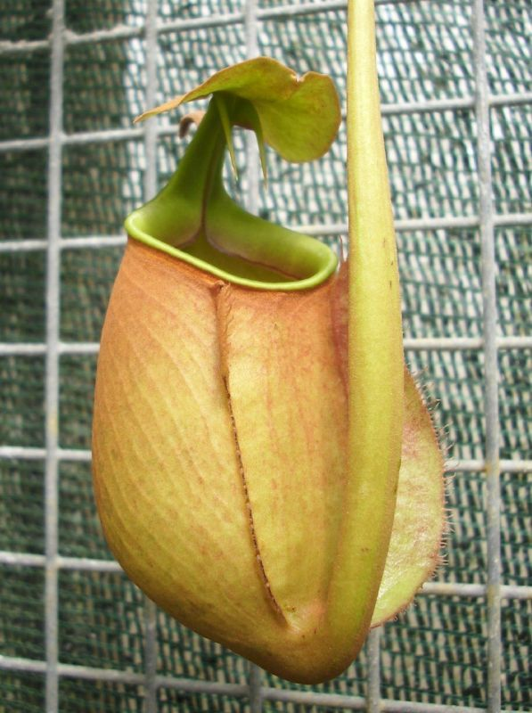 nepenthes biclarata