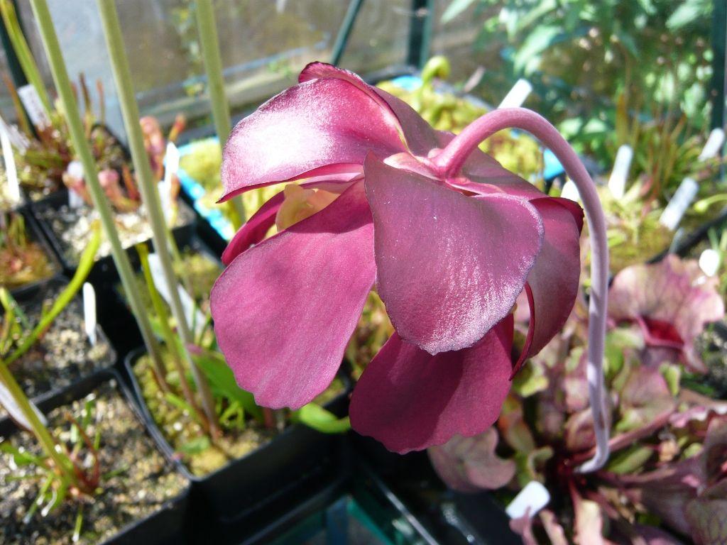venosa flower2