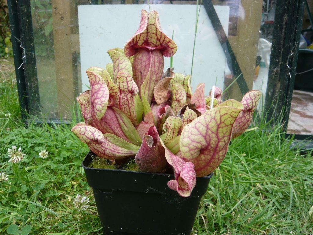 S. purpurea ssp venosa var burkii