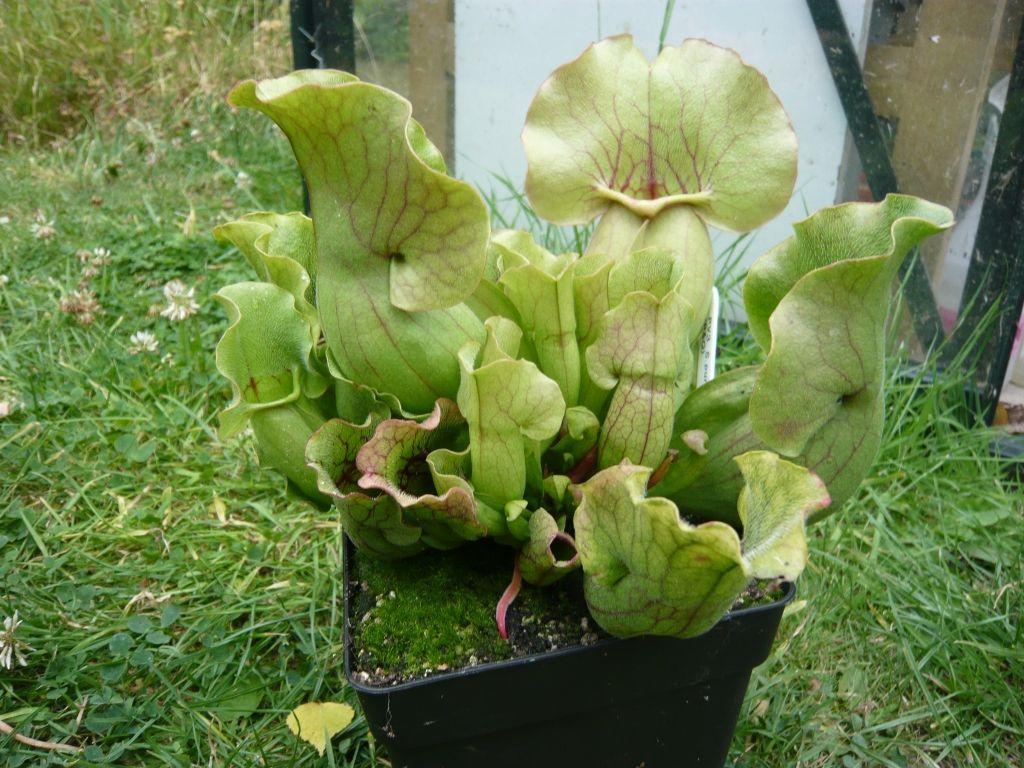BandQ S. purpurea ssp venosa
