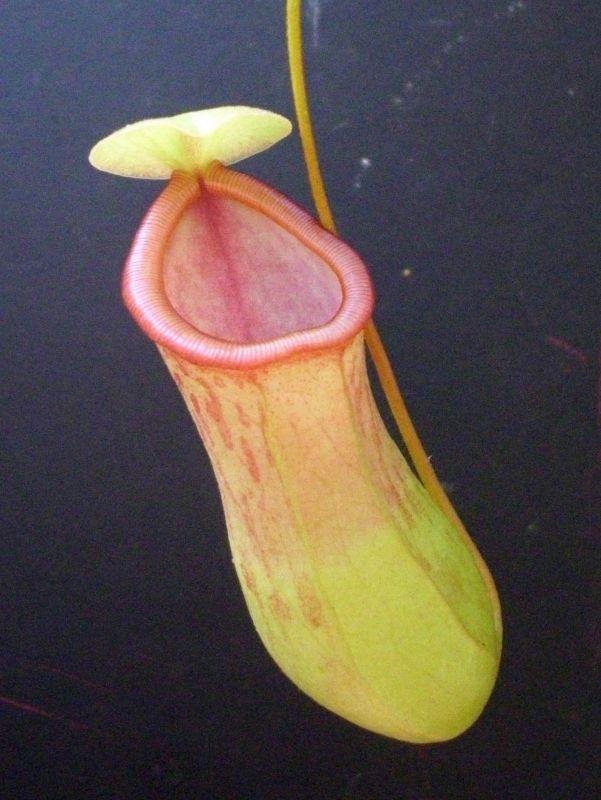 ventricosa hybrid 1
