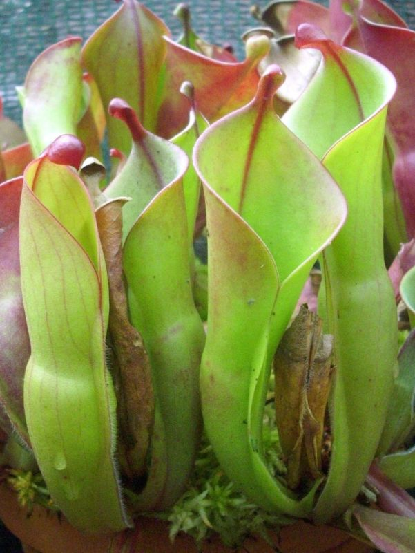 heliamphora heterodoxa X minor