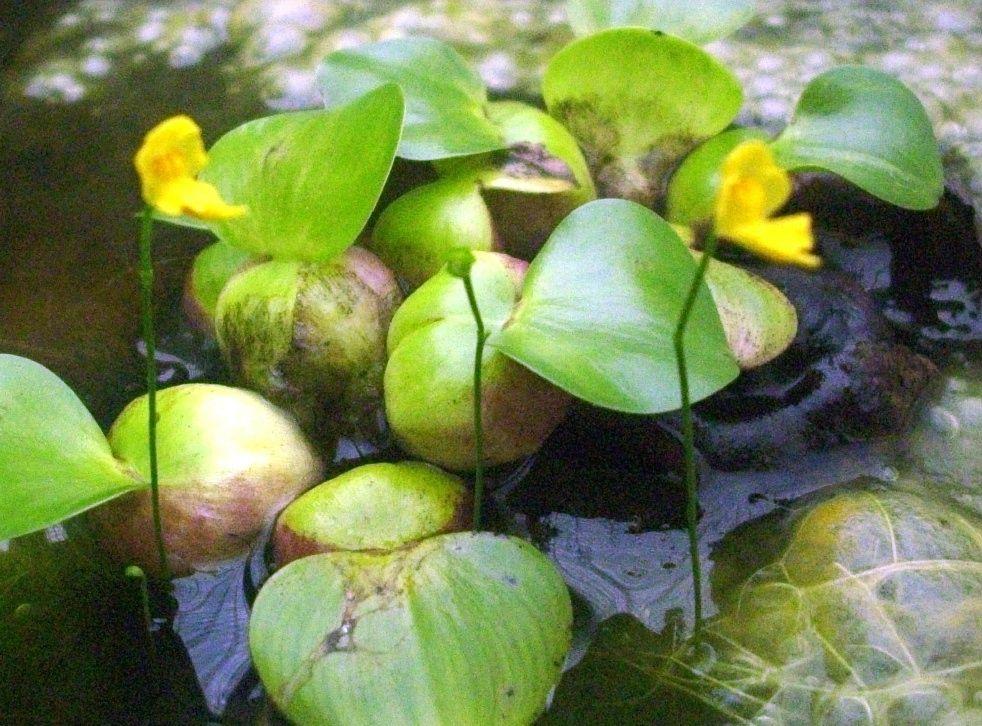 sarra1's utricularia