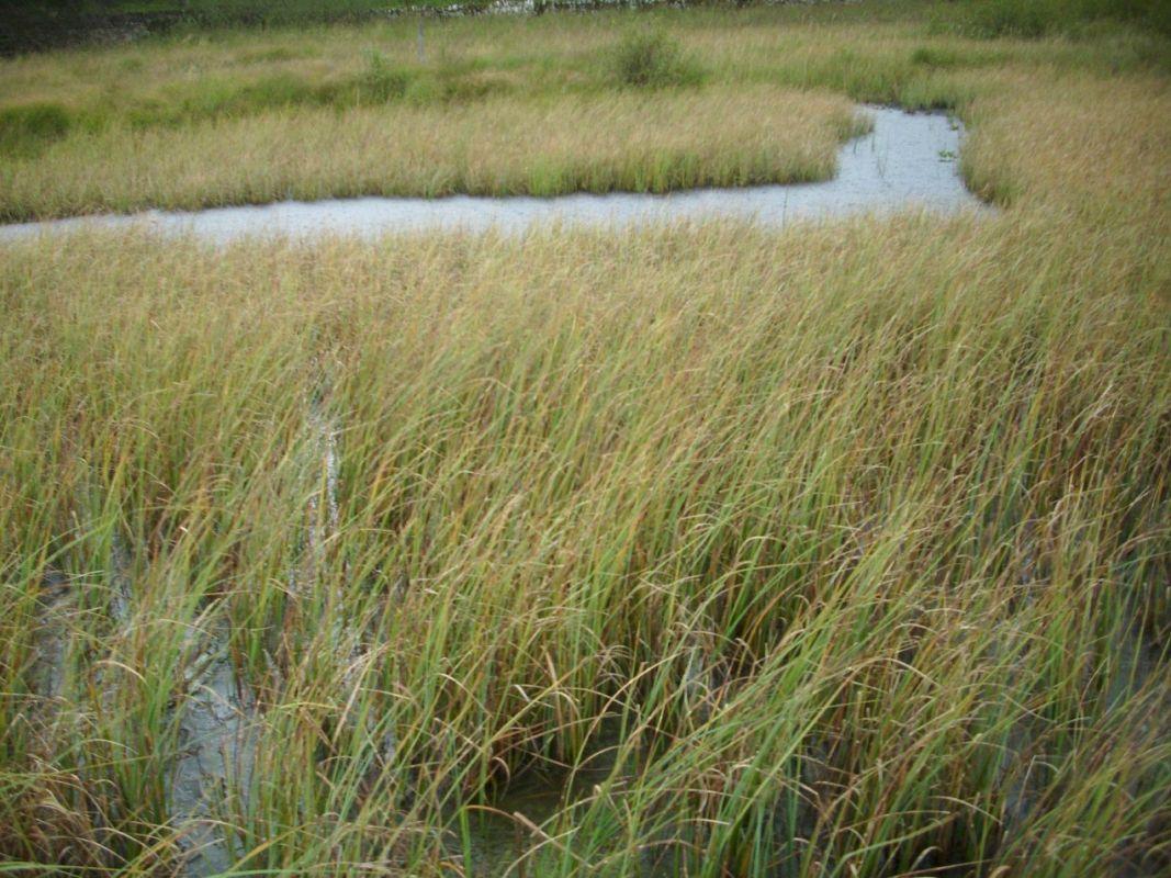 Utricularia site, Malham Tarn