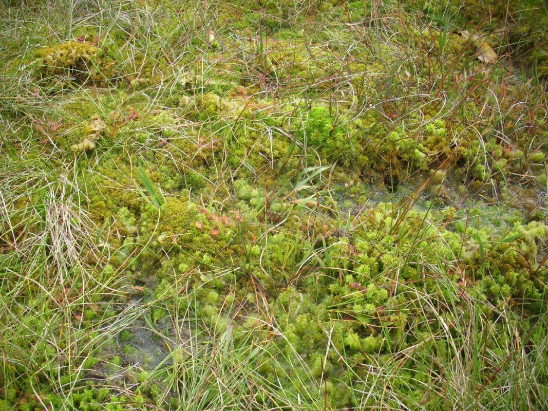 D. Rotundifolia, Malham Tarn