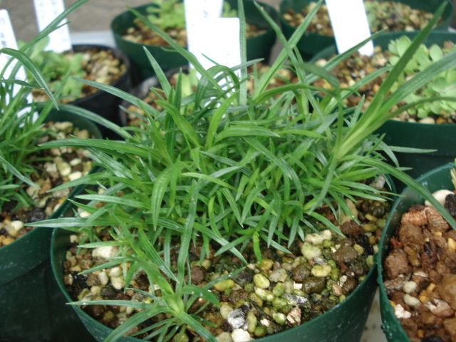 Stylidium graminifolium (Grass triggerplant)