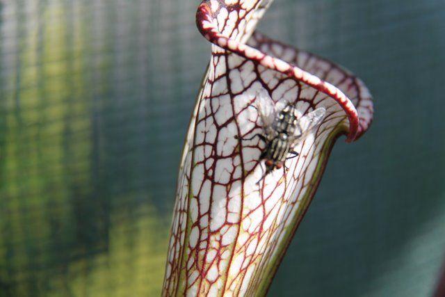 S. leucophyla