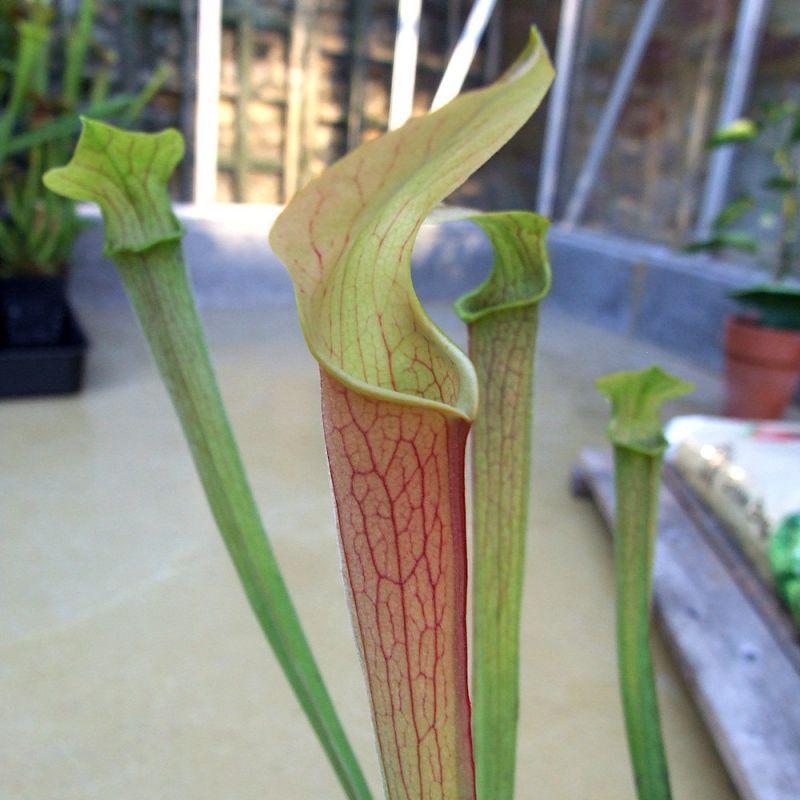 Sarracenia rubra ssp wherryi 'Chathom Giant'