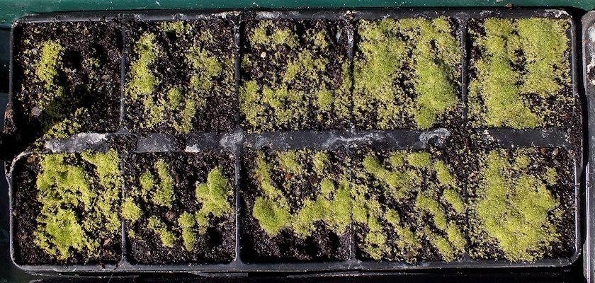 Drosera capensis 'alba' seedlings