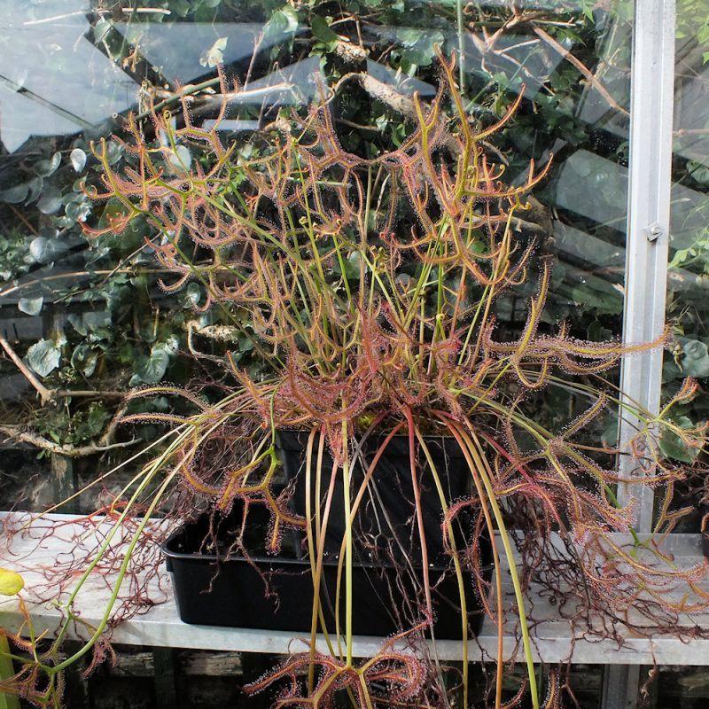 Drosera binata var. multifida f. extrema