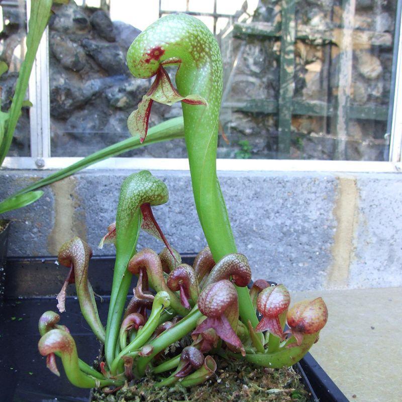 Darlingtonia carlifornica