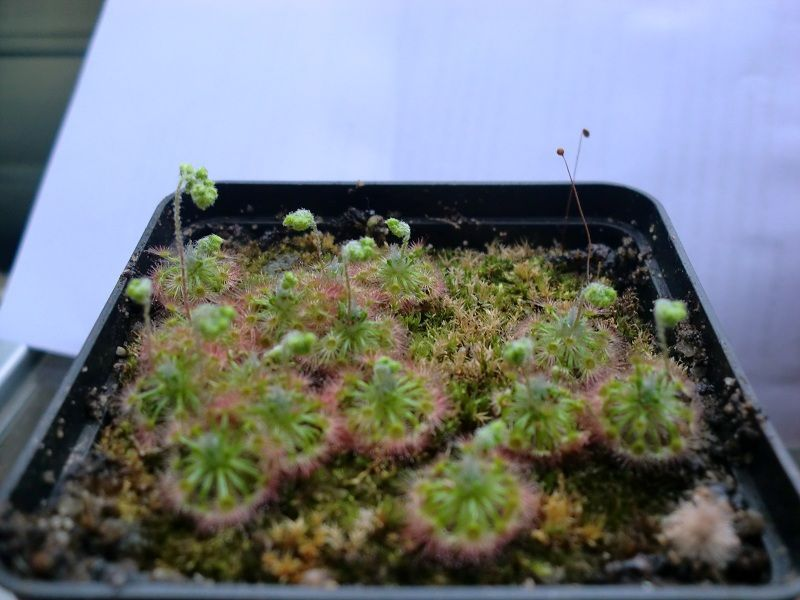 Drosera paleacea ssp. trichocaulis