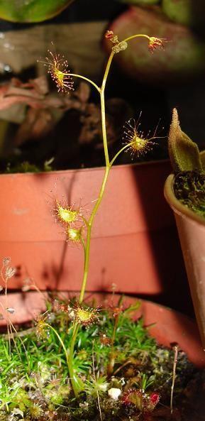 Drosera yilgarnensis2