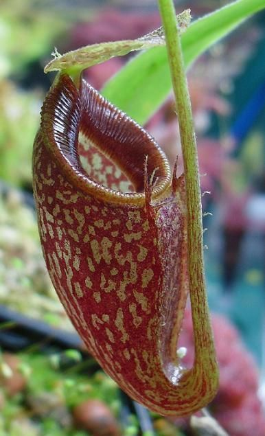 Nepenthes talangensis2