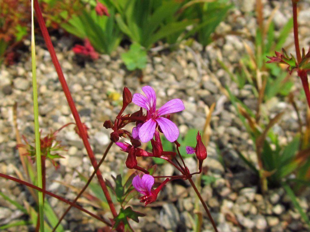 Pelargonium sp01
