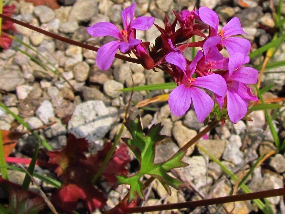 Pelargonium sp02