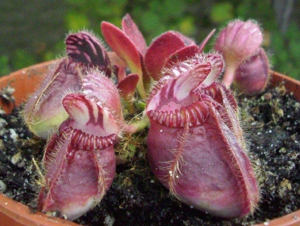 cephalotus follicularis 1 (2)