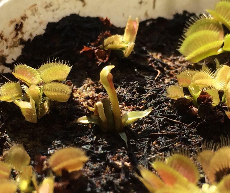 Freaky Dionaea seedling
