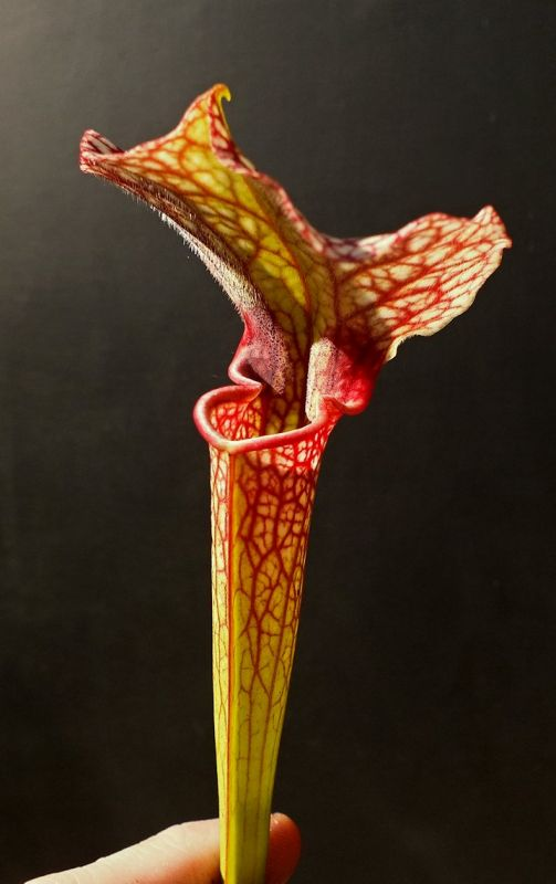 Deformity on Sarracenia × moorei