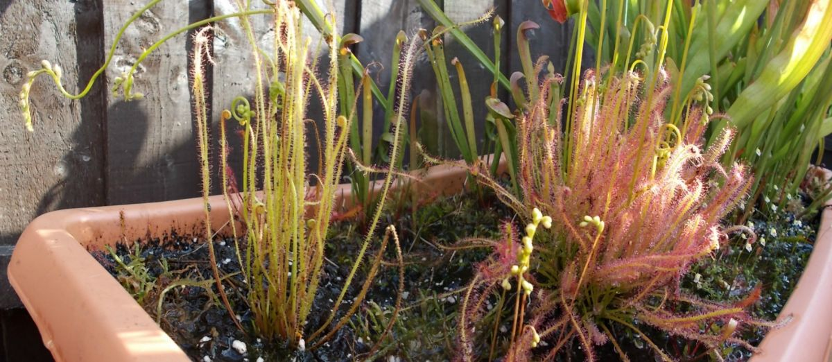 Drosera Hybrids