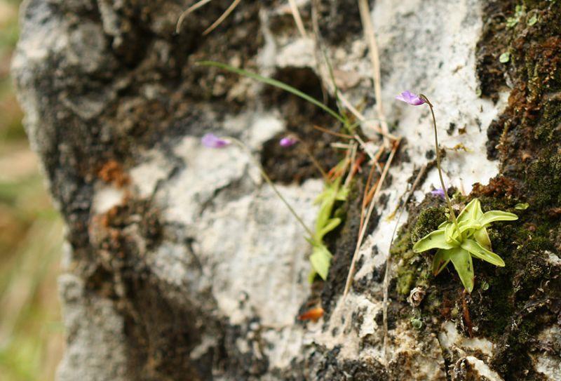 P. vulgaris var. gypsophila
