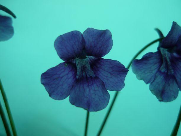P grandiflora Wb2