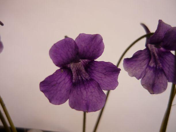 P grandiflora Wb1