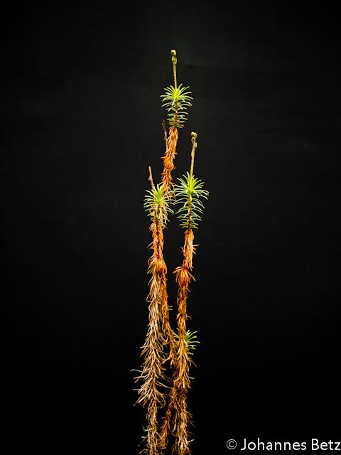 Stylidium laricifolium 4
