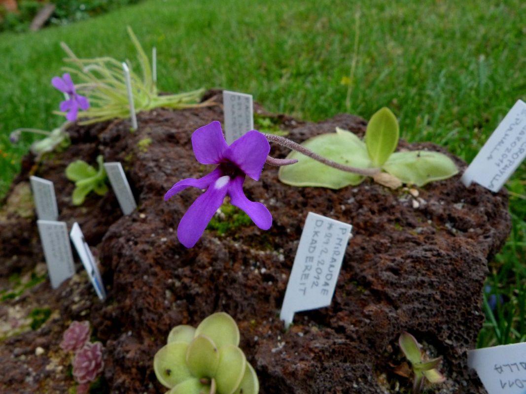 P. macrophylla