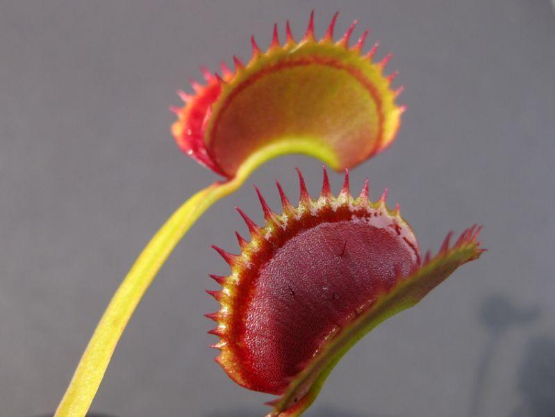 Dionaea muscipula Dracula.jpg