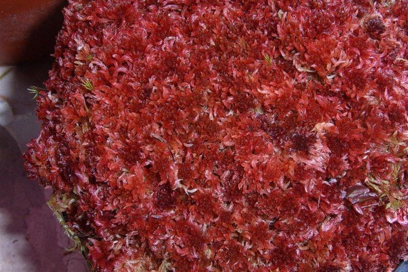 red sphagnum