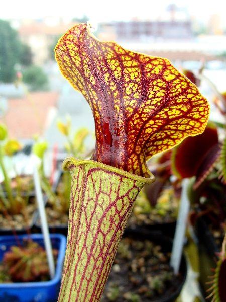 Sarracenia flava var. ornata 'Super ornata'
