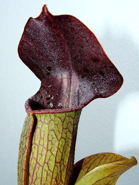 """Sarracenia alata """"Purple throat giant"""""""
