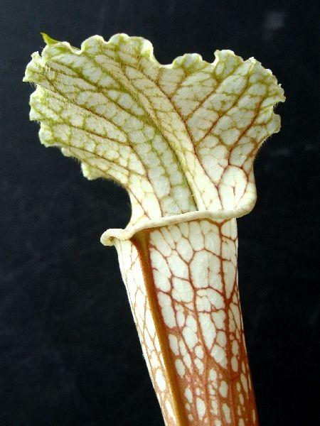 L04 MK Sarracenia leucophylla 'Schnell's ghost'