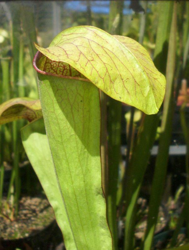 S X Minor X Oreophila
