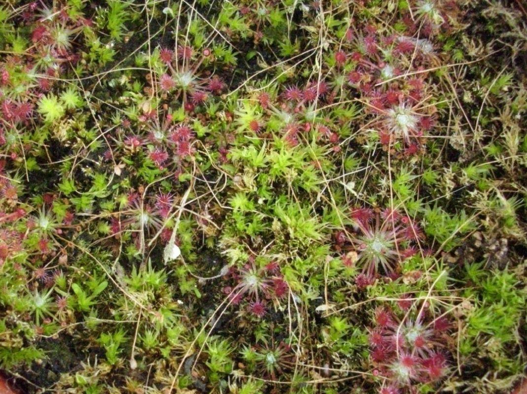 occidentalis Ssp australis (2)