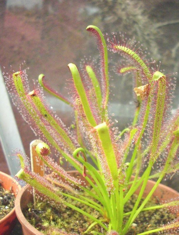 capensis (2)