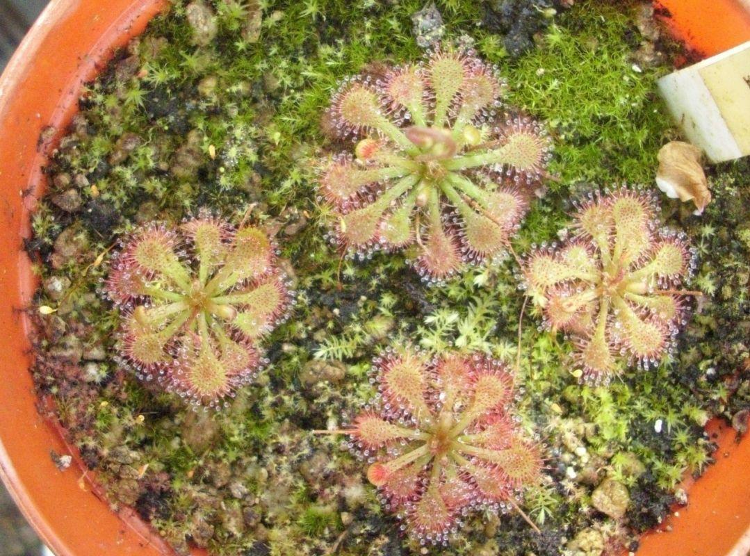 spathulata (2)