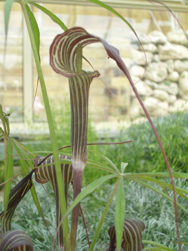 arisaema ciliatum 1