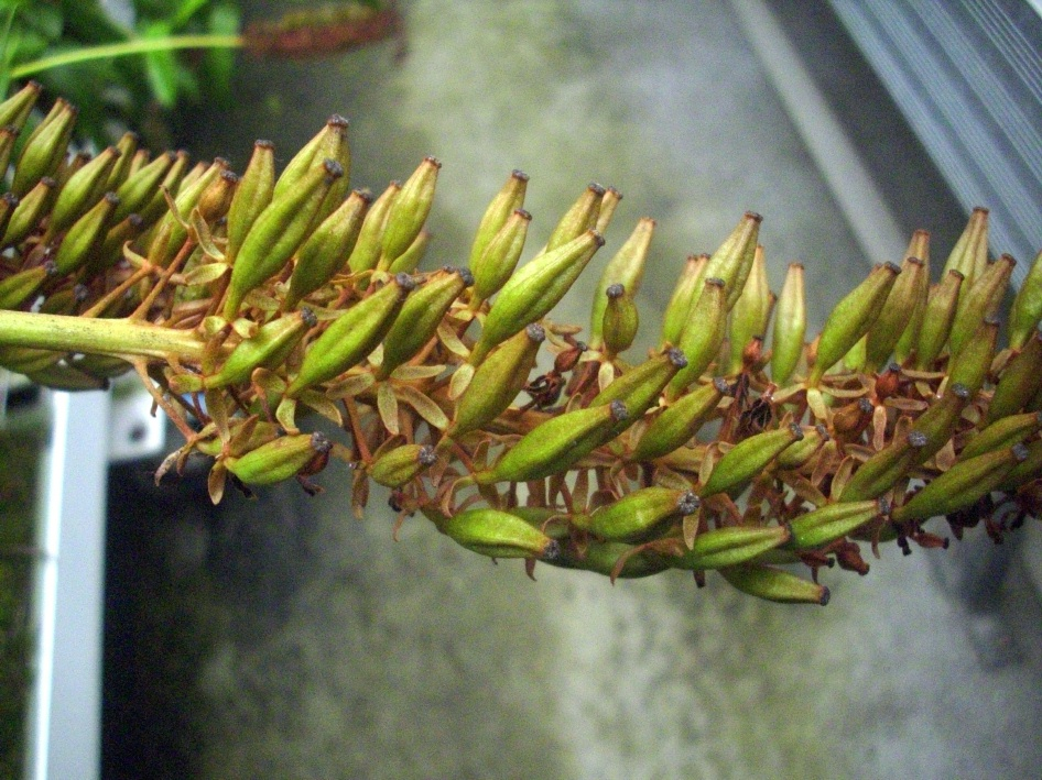 nepenthes fruit