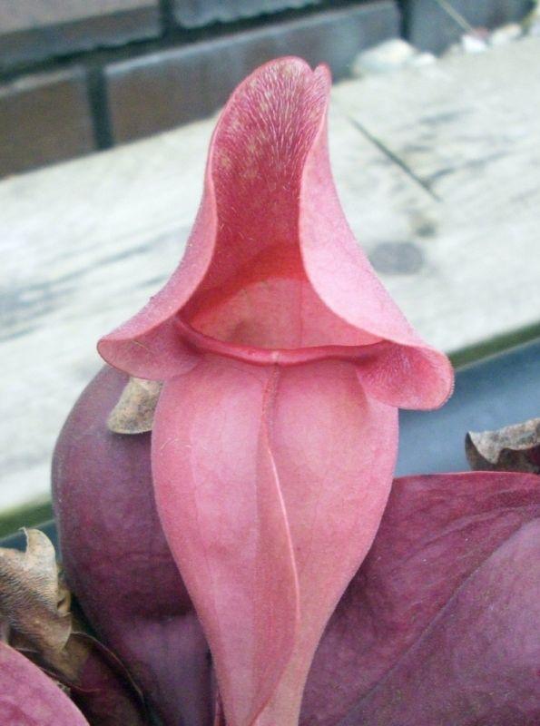S. purpurea ssp. venosa