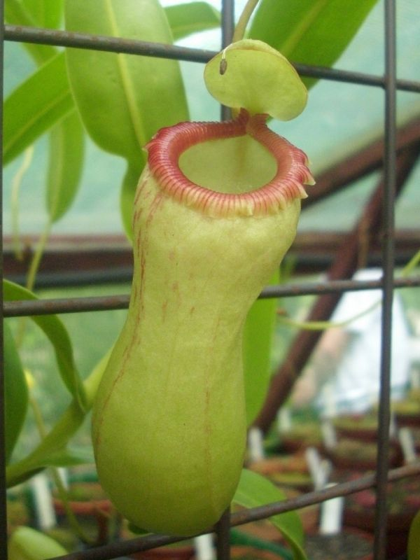 N. ventricosa