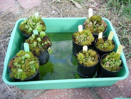 Leaf cuttings from 2008 a.JPG