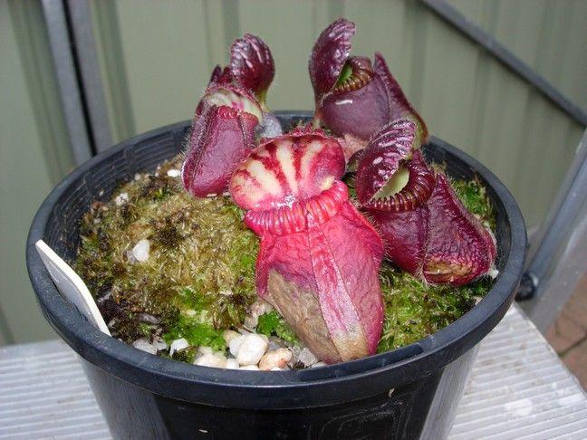 dying pitcher.jpg