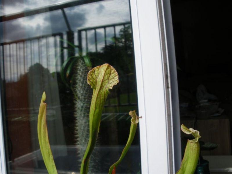 Sarracenia sp._03.jpg