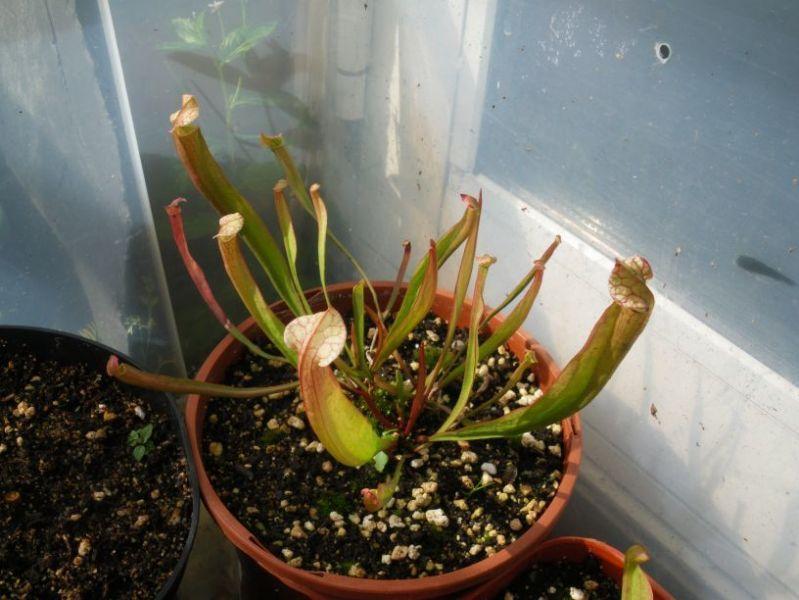 Sarracenia sp._01.jpg