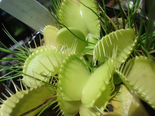 Dionaea muscipula All green, heterophylla, Carnivoria EU